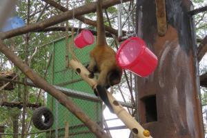 Muchas de las herramientas de enriquecimiento ambiental son aprovechadas por los monos de los recintos para jugar. Foto: Esther Pomareda.